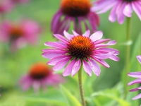Zázrak pro vaši imunitu aneb kráska jménem Echinacea purpurea